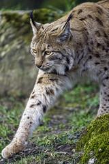 Lynx carefully walking (Tambako the Jaguar) Tags: wild portrait grass cat walking zoo switzerland moss paw nikon feline european stones calm tierpark lynx d4 arthgoldau goldau discretely