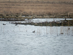Eight teal, a lapwing, and a coot at Marwick (Dunnock_D) Tags: uk bird water grass birds swimming reeds scotland duck pond orkney unitedkingdom teal ducks lapwing grasses coot lochan marwick theloons