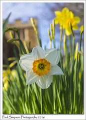 Daffodils (Paul Simpson Photography) Tags: flowers plant flower nature petals spring daffodil flowering naturalworld daffodils scunthorpe photosof imageof whitedaffodil photoof imagesof sonya77 paulsimpsonphotography april2016