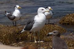 Caspian Gull at Salalah S24A6710 (grebberg) Tags: bird march gull oman larus rotana 2016 salalah caspiangull laruscachinnans dhofar rotanaresort