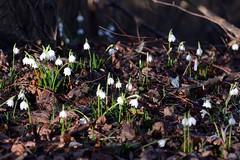 Leucojum vernum () Tags: snowflake flowers white flower primavera spring fiori fiore bianchi leucojum sottobosco campanelle vernum