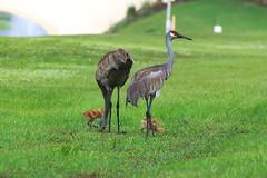 DSC_0051 (james_tolson) Tags: florida crane wildlife gators sandhill sandhillcranes alligators