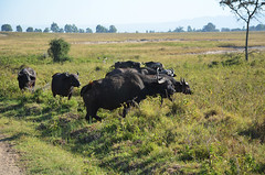 LN_safari_waterbuffalo_04 (chiang_benjamin) Tags: africa morning game water animal animals nationalpark kenya reserve bufallo lakenakuru