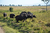 LN_safari_waterbuffalo_04 (chiang_benjamin) Tags: africa morning game water animal animals nationalpark kenya reserve bufallo lakenakuru