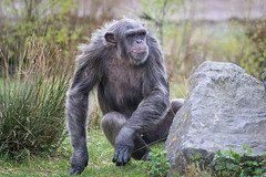 Chimpanzee 2016-04-06-0026 (bzd1) Tags: nature animal mammal natuur pan chimpanzee beeksebergen primates pantroglodytes chimpansee chordata synapsida hominidae commonchimpanzee hominini haplorhini
