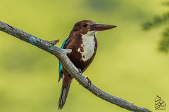 White Breasted Kingfisher (Saeed Lajami) Tags: india birds canon wildlife karnataka in whitebreastedkingfisher mysuru