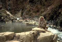 Onsen monkey chillin' (Kyle Horner) Tags: japanesemacaque kanbayashi snowmonkeyresorts