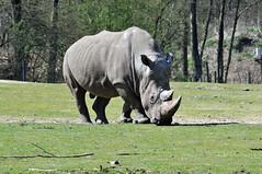 Rhinocerous at Burgers Zoo, Arnhem, 10th April 2016 (74009) Tags: arnhem rhinocerous burgerszoo