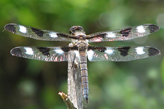 Twelve-spotted skimmers - out early (Vicki's Nature) Tags: white black male canon georgia wings dragonfly bokeh large spots immature s5 biello twelvespottedskimmer 7649 12spottedskimmer vickisnature
