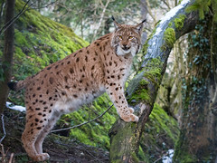 Lynx (Cloudtail the Snow Leopard) Tags: animal cat mammal feline katze tierpark lynx tier luchs sugetier goldau