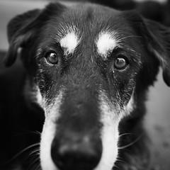Mr. White Eyebrows (stephaneberla) Tags: blackandwhite dog chien dogs animals mammal effects photography blackwhite noiretblanc nb fx animaux effets squareframe formatcarr whiteeyebrows mamifres