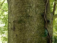 Pittosporum eugenioides A. Cunn. 1839 (PITTOSPORACEAE) (helicongus) Tags: spain pittosporum pittosporaceae pittosporumeugenioides jardnbotnicodeiturraran