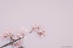 DSC_8502 (Frankie Tseng ()) Tags: park pink flowers sunset sky bw flower silhouette photography 50mm blackwhite nikon outdoor flash sunny tokina cherryblossoms fade nikkor 70300mm tamron 90mm f8 1224mm f28 f4 1870mm bwphotography blackwhitephotography portraitphotography outdoorportrait sb900 yongnuo outdoorportraitphotography yn568