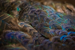 Riding Peacock (dptro) Tags: blue light sunlight macro beautiful animals colorful patterns feathers peacock layers avian waterproof softlight avis dominant matingseason malepeacock waterprof