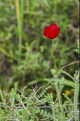 IMG_6049 (petrosli) Tags: flowers flower macro nature closeup canon eos greece eos500d