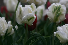 IMG_7939 (Five eyes) Tags: flowers flower holland color nature beauty garden spring dof tulips beds michigan fresh neighborhood beginning tuliptime promise lanes 2016
