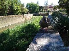 Dia da Me (LuPan59) Tags: birds aves oeiras jardins patos lupan59 ribeiradalage palaciodomarqusdepombal