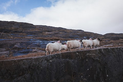Sheep (thekevinchang) Tags: mountain sheep flock route grazing healypass