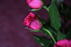 DSC_0762 Roses (PeaTJay) Tags: flowers roses plants macro nature rose gardens fauna reading flora indoors micro closeups berkshire rosebuds lowerearley nikond750