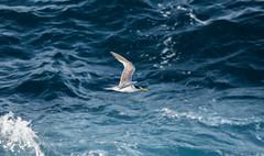 Crested Tern (TerrenceSly) Tags: bird nature point wildlife birding flight sydney crested tern maroubra mistral