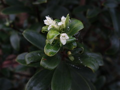 Pello pelo ( Ovidia pillopillo), arbusto de la macrOzona sur de diversos usos tradicionales.