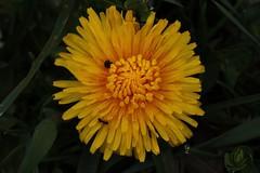 Taraxacum (Hugo von Schreck) Tags: flower macro blume makro wildflower taraxacum lwenzahn f13 wildblume tamronspaf180mmf35dildifmacro11 canoneos5dsr hugovonschreck