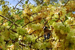 chardonneret elegant en plein repas (fabiejacqueline) Tags: red white black bird yellow jaune rouge nikon noir 1855 bec marron arbre blanc oiseau plume branche plumage passeriformes chardonneret d5300 fringilides