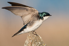 Tree Swallow -8491 (NicoleW0000) Tags: blue white ontario canada tree bird nature photography wings watching swallow