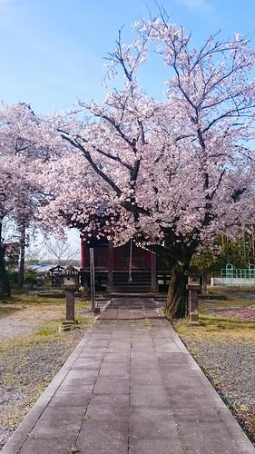 Cherry Blossom Shrine Of Japan