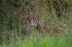 Brocard (J-C Isabelle) Tags: france nature french nikon centre sigma 45 animaux campagne bois chevreuil sauvage brocard région loiret 150500 d5100 cérvidés