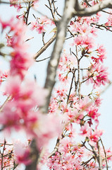 DSC_8512 (Frankie Tseng ()) Tags: park pink flowers sunset sky bw flower silhouette photography 50mm blackwhite nikon outdoor flash sunny tokina cherryblossoms fade nikkor 70300mm tamron 90mm f8 1224mm f28 f4 1870mm bwphotography blackwhitephotography portraitphotography outdoorportrait sb900 yongnuo outdoorportraitphotography yn568