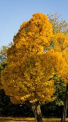As yellow as they come (Emiel Dekker) Tags: park city autumn netherlands amsterdam sony herfst nederland urbannature vondelpark a57