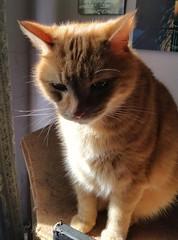 Taz. (julzz2) Tags: cats pets animals mycats felines cutecats gingercats pussycats animalfaces catlovers catfaces catsfaces sunnycats felinefaces petsfaces