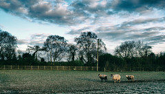 The Escape Committee. (elam2010) Tags: leica trees england nature animals rural fence landscape countryside moody sheep mud farm silhouettes farmland agriculture pastoral darkclouds wirral wintry leicax2