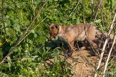 FoxSBahn-0169.jpg (mono-foto) Tags: wien tiere fuchs säugetiere