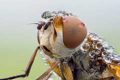 Big head (Cristian Arghius) Tags: macro insect fly naturallight focusstack nikonpb6bellows ectophasiacrassipennis zerenestacker sonynex7 rrstp243tripod schneiderkreuznachapocompononhm604 arcaswisscubetripodhead