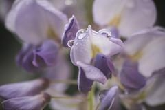 Glicine (Rana Saltatrice) Tags: flowers macro primavera nature rain garden drops spring purple fiori viola pioggia wisteria giardino pianta gocce glicine rampicante sinensis canon100d rebelsl1 valentinaconte