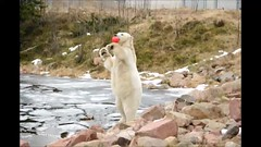 Playful Polar Bear (FlorDeOro) Tags: animal video nikon polarbear d90