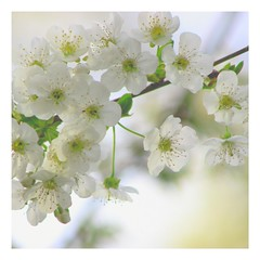 Blooming Lovely (Cal Killikelly) Tags: flower fantastic plum