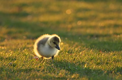 Backlit Gosling (Gavin Edmondstone) Tags: ontario gosling canadagoose brantacanadensis oakville bronteharbour baclit cans2s olympus300mmf40isproedmzuiko
