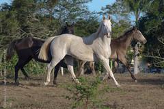 _DSC8709 (Izaias Lus) Tags: brasil caballos photography photographie cavalos equestrian equine nordeste chevaux equino haras equestre garanhunspe