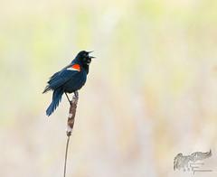Red Winged Blackbird 4_29 (krisinct- Thanks for 12 Million views!) Tags: canon mark ii 7d 500 f5