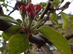 Appelbloesem 2016 (blossom of an apple tree) (megegj)) Tags: apple blossom appel lente bloesem springtime gert