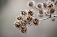 Diestel, Mrz 2012 (joergpeterjunk) Tags: macro outdoor pflanze blume makro blte muster trocken schrfentiefe pastell textur diestel canonef70300mmf456isusm canoneos50d organischesmuster