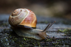 Happy in the rain (christian.grelard) Tags: macro rain animal canon happy eos pluie snail sigma animaux escargot coquille faune 105mm gastropode 700d canonfrance