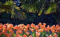 Palms & Petals (Keith Mac Uidhir  (Thanks for 3.5m views)) Tags: pink ireland dublin orange flores flower green fleur yellow fleurs spring tulips blumen irland tulip dublino irlanda irlande flore bloem ierland irska dubln irlandia lirlanda irsko  airija irlanti  cng  iirimaa ha     rorszg         rlnd