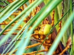 Coconut in a tree (dksesh) Tags: tree coconut bangalore palm panasonic g6 karnataka hinduism seshadri sesh bengaluru harita dhanakoti haritasya seshfamily dmcg6 panasonicg6 panasonicdmcg6 lakshmipura manmathasamvatsara