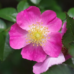 Simple Rose (bamboosage) Tags: macro mamiya m42 28 60 preset sekor 11macro