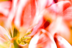 Red Fire (macplatti) Tags: multipleexposure digitalpainting farbe pleasure springtime frhling freude colorexplosion redfire farbexplosion mehrfachbelichtung canon5dmarkiii rotesfeuer caonef100mm