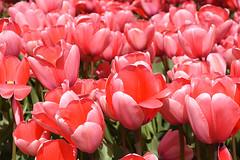 Bright pink tulips in full bloom (cklx) Tags: red holland yellow spring tulips may tulip april brightcolors tulpen noordwijkerhout tulp lisse 2016 bollenstreek hillegom